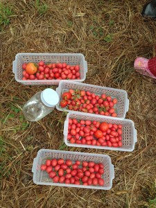 150830_tomatoes